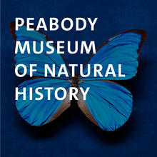 Peabody Museum, Blue Morpho butterfly